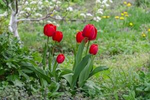 Тюльпаны в Киево-Печерской Лавре