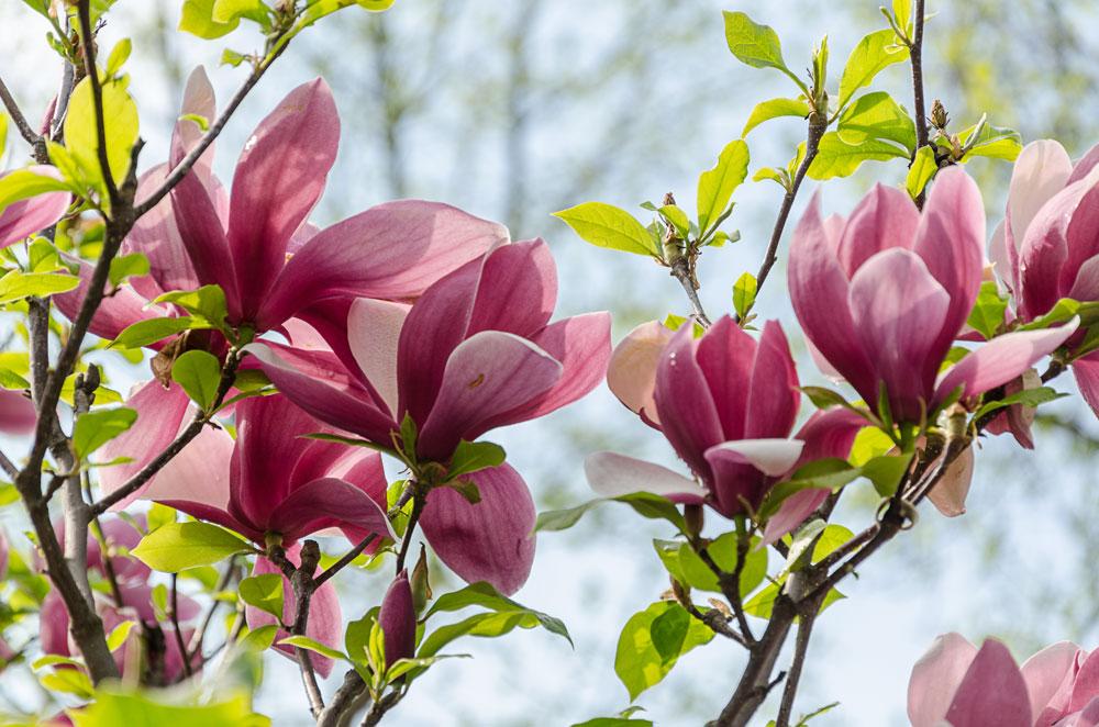 Цветение магнолии