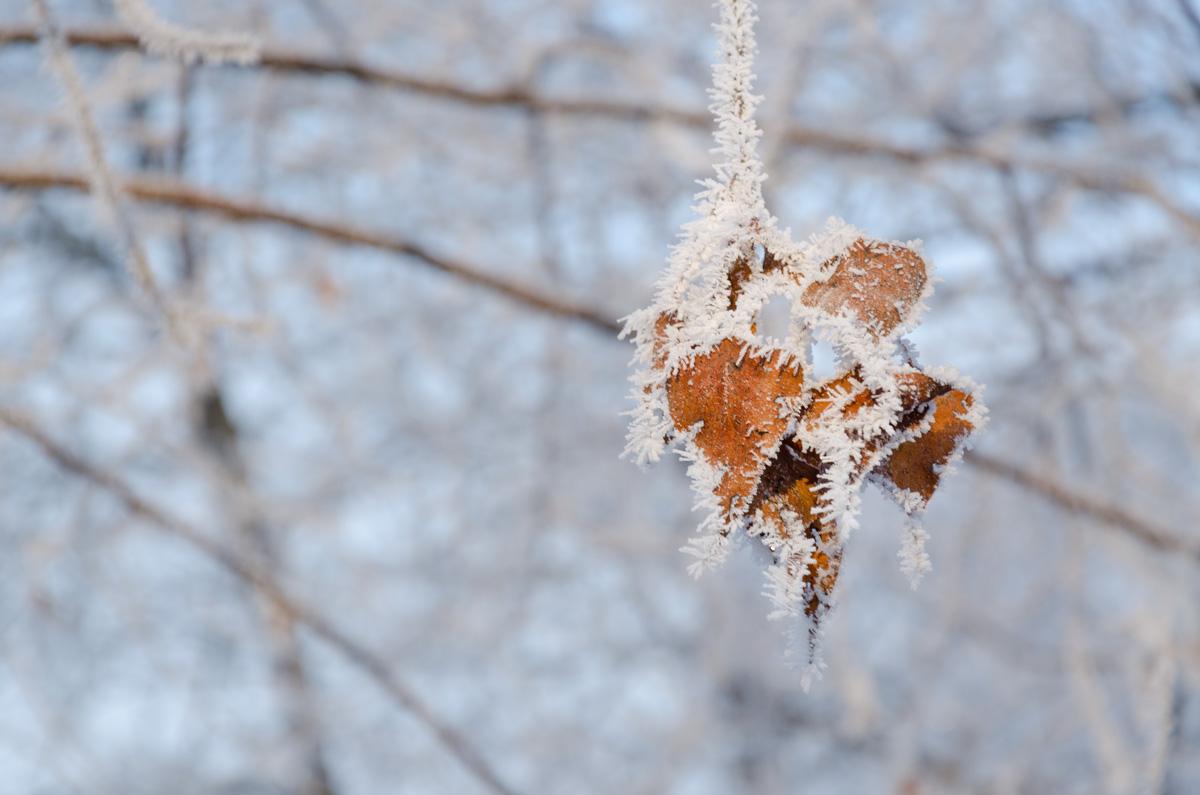 Frozen trees in ice